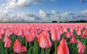 rosa-tulpen-158357